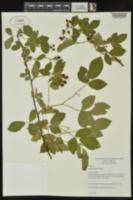 Rubus laudatus image