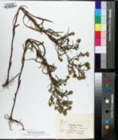 Image of Symphyotrichum robynsianum