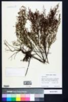 Lechea minor image