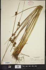 Juncus conglomeratus image