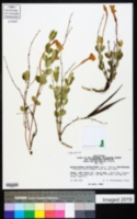 Image of Telosiphonia macrosiphon