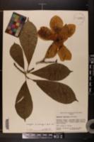 Image of Magnolia x soulangiana