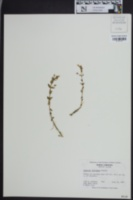 Image of Gratiola viscidula