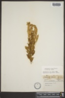 Gentianella crinita image