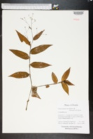 Image of Gibasis pellucida