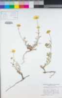 Eriophyllum lanatum var. grandiflorum image