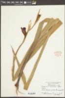 Image of Gladiolus lemoinei