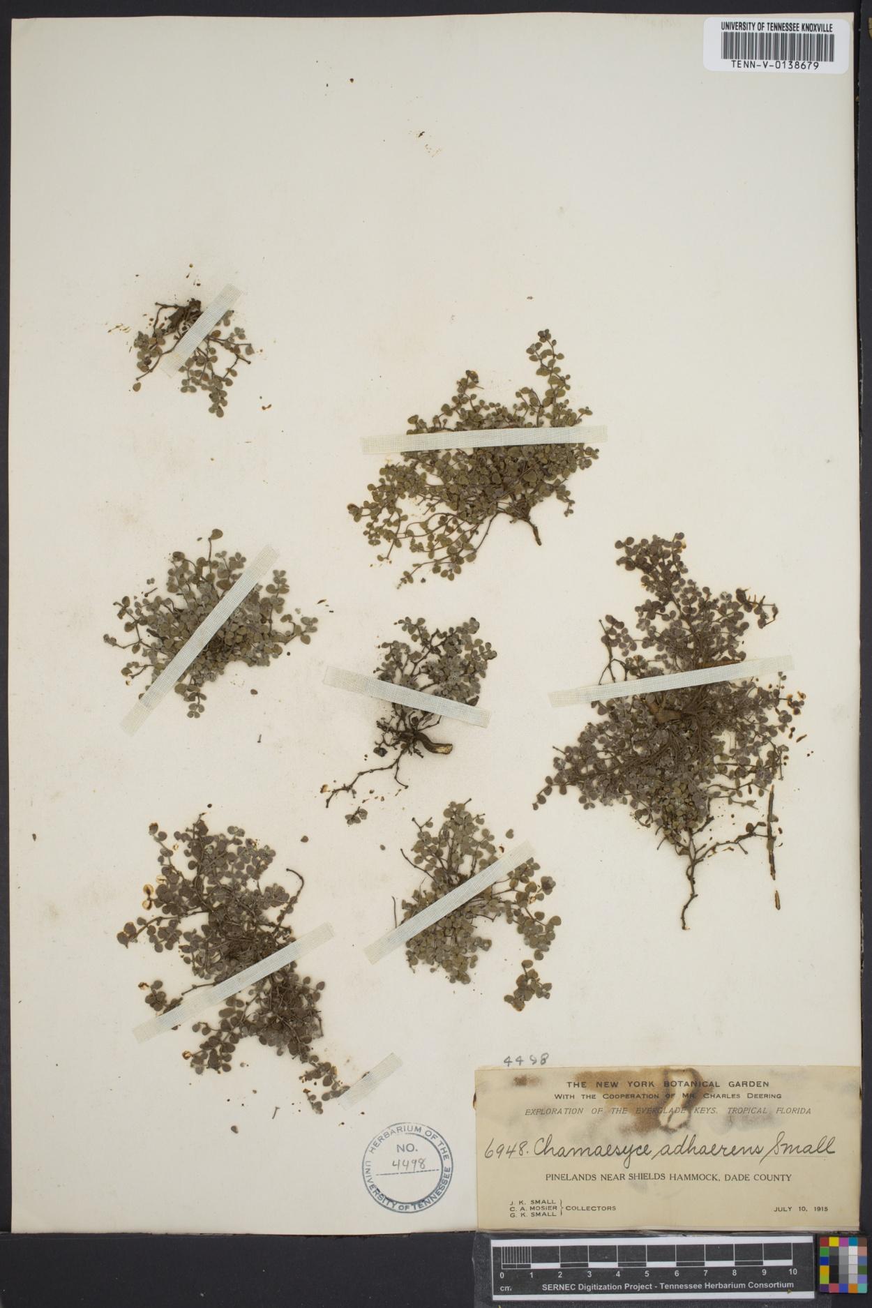 Euphorbia deltoidea subsp. adhaerens image