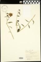 Image of Aureolaria auriculata