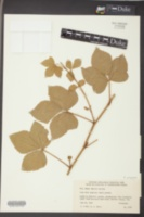 Image of Rubus paganus