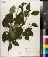 Cornus sericea image