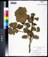 Image of Hibiscus maculatus