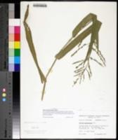 Image of Panicum gymnocarpon