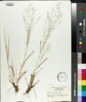 Eragrostis lugens image
