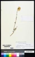 Image of Adenophyllum speciosum