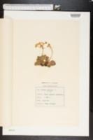 Image of Primula auriculata