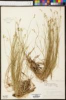Carex hoodii image