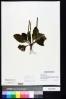 Plantago rugelii image