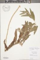 Image of Lithospermum bejariense