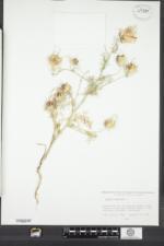 Nigella damascena image
