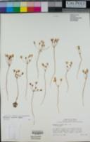 Image of Bloomeria humilis
