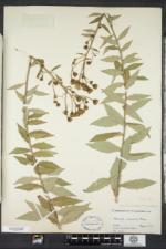 Hieracium kalmii image