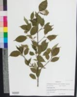 Cornus foemina image
