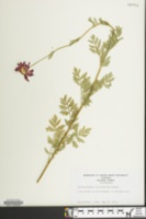 Image of Chrysanthemum coccineum