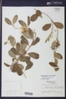 Pentalinon luteum image