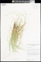 Image of Carex echinata