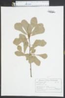 Quercus nigra image