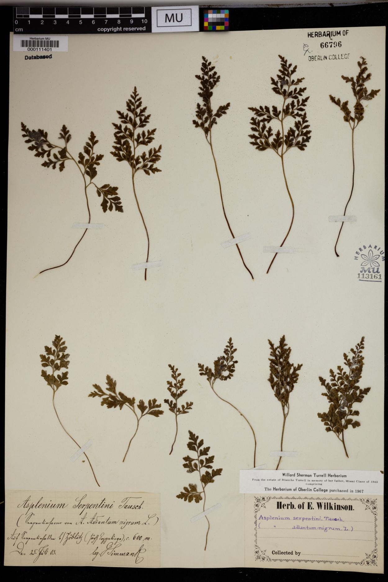 Asplenium cuneifolium image