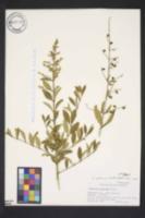 Image of Ligustrum tschonoskii