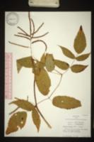 Aruncus dioicus image