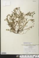Image of Euphorbia berteriana