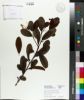 Image of Magnolia laevifolia