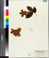Image of Clytostoma callistegioides