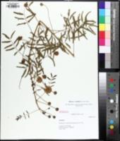Image of Mimosa nuttallii