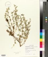 Image of Aristolochia coryi