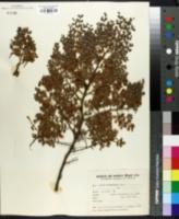 Larrea cuneifolia image