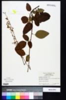 Desmodium floridanum image