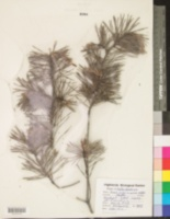Pinus virginiana image