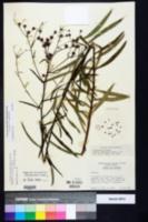 Image of Vernonia x dissimilis