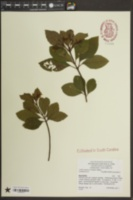Ardisia japonica image