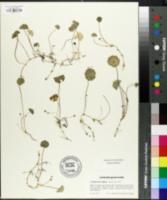 Image of Hydrocotyle vulgaris