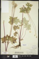 Anemone cylindrica image