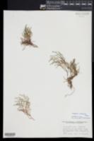 Selaginella viridissima image