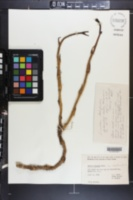 Smilax hispida var. montana image