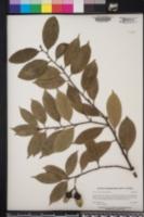 Licaria triandra image