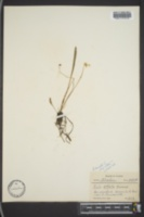 Viola lanceolata subsp. vittata image